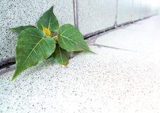 Mały Banyan drzewo Narastający up w budynku zdjęcie royalty free