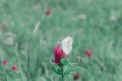 Mały biały kapuściany motyl na różowej koniczynie zdjęcie royalty free