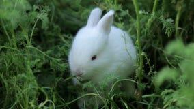 Mały biały królik zbiory