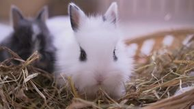 Mały biały królika obsiadanie w kosz Wielkanocny świętowanie zbiory