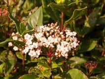 Mały biały kwiatów up miękkiego światła krzaka zamknięty ogród Zdjęcie Royalty Free