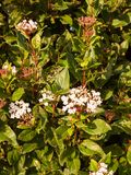 Mały biały kwiatów up miękkiego światła krzaka zamknięty ogród Obraz Stock