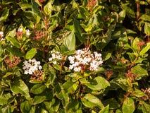 Mały biały kwiatów up miękkiego światła krzaka zamknięty ogród Zdjęcia Royalty Free