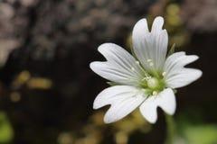 Mały biały kwiat Zdjęcia Royalty Free