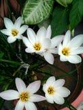 Mały biały kwiat Fotografia Royalty Free