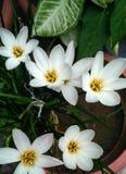 Mały biały kwiat Zdjęcia Stock