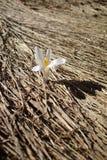 Mały biały kwiat r z starej słomy w wiośnie Zdjęcie Royalty Free