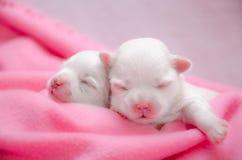 Mały biały Maltański szczeniaków spać Zdjęcie Stock