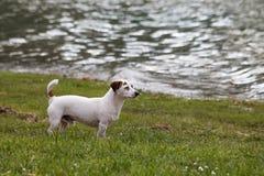 mały biały pies Obrazy Royalty Free