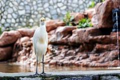 Mały biały złoty czapli ptak fotografia stock