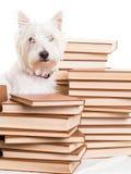 Mały biały teriera pies wśród stert książki Fotografia Royalty Free