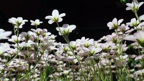 Mały białych kwiatów badanu mech w wiatrze na czarnym tle Naturalny kwiecisty t?o zbiory