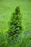 mały Bożego Narodzenia drzewo Obraz Royalty Free