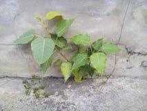 Mały bodhi drzewo fotografia royalty free