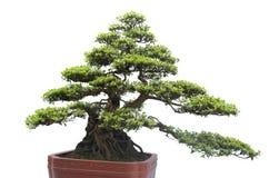 Bonsai na bielu zdjęcie stock