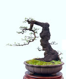 Bonsai na bielu Obraz Royalty Free