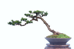 Bonsai na bielu Fotografia Stock