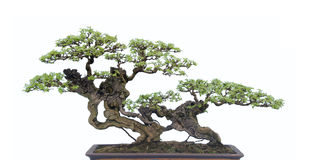 Bonsai na bielu Obrazy Stock
