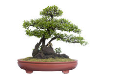 Bonsai na bielu Obrazy Royalty Free