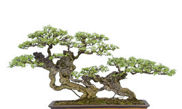 Bonsai na bielu Obraz Stock