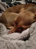 Mały brązu pies na łóżku obrazy stock