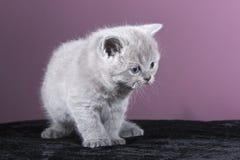 Mały Brytyjski figlarki obsiadanie na czarnym płótnie i patrzeć strona Obraz Stock