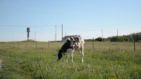 Mały byk na letniego dnia lochach na zielonej łące i je świeżej świrzepy rosnąć i zostać silnym bykiem zdjęcie wideo
