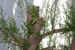 Mały cedrowy drzewo zdjęcia stock