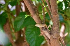 Mały chameleon& łapiący na gałąź ślaz Obraz Royalty Free