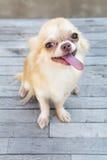 Mały ciała brązu chihuahua psa obsiadanie na drewno stole Obraz Stock
