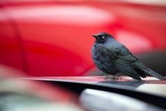 Mały ciemny ptak z błękitnymi piórkami na samochodowym kapiszonie obraz stock