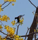 Mały colibri obrazy royalty free