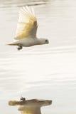 Mały Corella latający odbicie w jeziorze Fotografia Stock