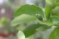 Mały cytryny lub wapna dorośnięcie w ogródzie zdjęcia royalty free