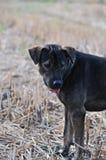 Mały czarnego psa stojak otwarty ja usta obrazy royalty free