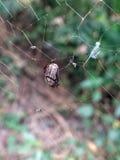 Mały czarny ścigi pluskwy insekt łapać w pułapkę w pająk pajęczynie próbuje przeżyć fotografia stock