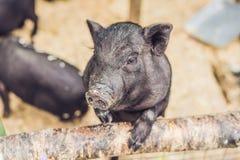 Mały czarny świnia stojak na drewnianym ogrodzeniu na gospodarstwie rolnym Zdjęcia Royalty Free