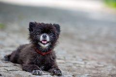 Mały czarny bezdomny pies patrzeje ciebie, Praga fotografia stock