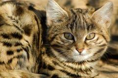Mały Czarny Footed kot (felis negripes) Obrazy Stock