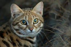 Mały Czarny Footed kot (felis negripes) Fotografia Royalty Free
