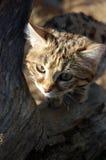 Mały Czarny Footed kot (felis negripes) Obrazy Royalty Free