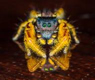 Mały Czarny i Żółty Skokowy pająk Makro- Zdjęcie Stock