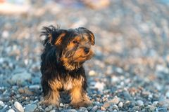 Mały czarny i brown Yorkshire Terrier yakshinskiy na tła dennych otoczakach na plaży Zdjęcia Stock