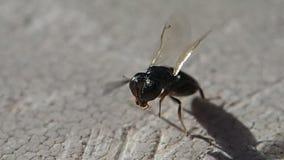 Mały czarny insekt czyści swój anteny zdjęcie wideo