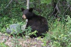 Mały czarny niedźwiadkowy lisiątko zdjęcie royalty free