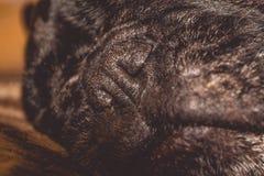 Mały czarny nos Marszczący kaganiec rodowód Traken Kan Corso, Francuski buldog pet fotografia royalty free