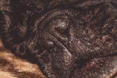 Mały czarny nos Marszczący kaganiec rodowód Traken Kan Corso, Francuski buldog pet zdjęcie royalty free