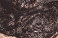 Mały czarny nos Marszczący kaganiec rodowód Traken Kan Corso, Francuski buldog pet obrazy stock
