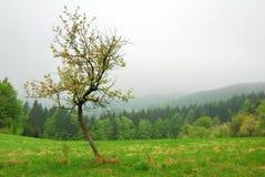 Mały Czereśniowy drzewo Zdjęcia Royalty Free
