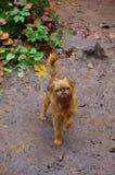 Mały czerwień pies na tle jesieni błoto Obrazy Royalty Free